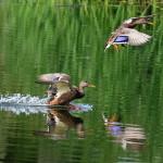 Сроки проведения весенней охоты 2019 на утку, гуся по регионам: правила охоты и нормы добычи